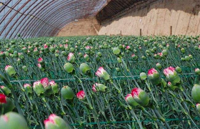 """""""一带一路""""带领新疆鲜切花产业飞速发展"""