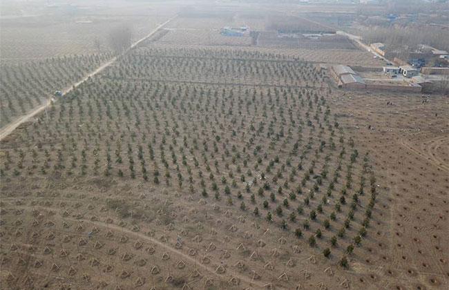 2019雄安计划造林20万亩,需要什么苗?