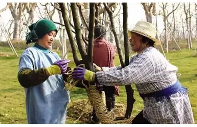 冬季园林植物防冻、防寒攻略
