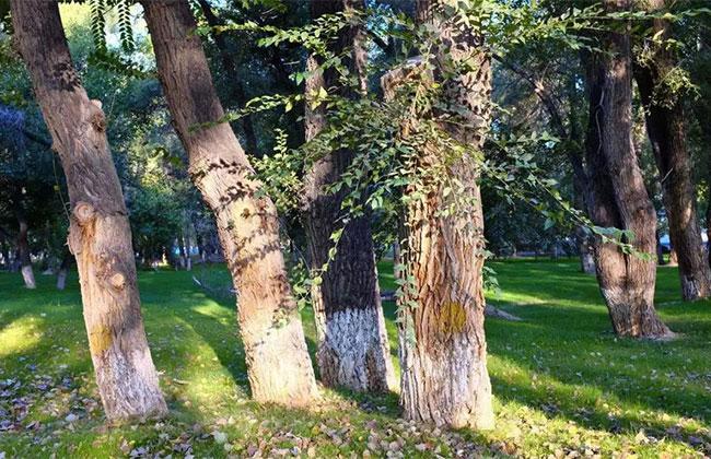 园林冬季养护措施,这五点可助苗木安全越冬!