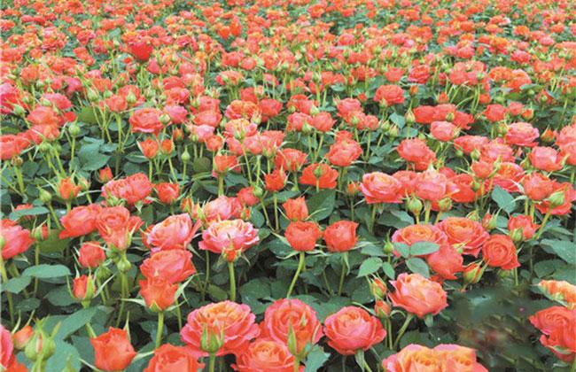 春节迷你玫瑰供大于求,市场遇冷