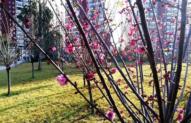 苏城梅花已经绽放 最佳观赏期在春节