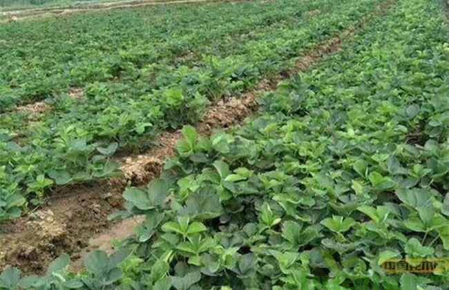 红颜草莓怎么种植能提高产量?种植技术详解