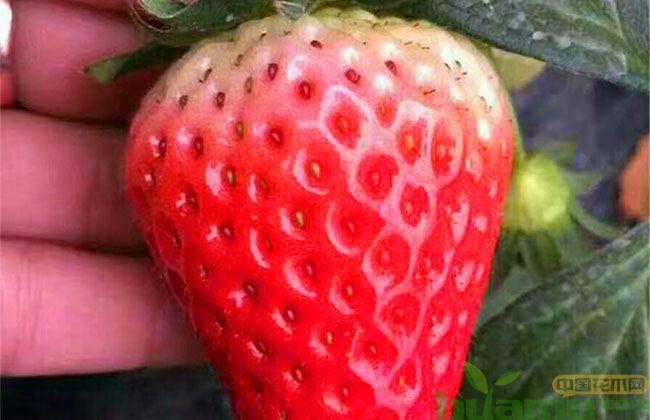 甜查理草莓品种介绍