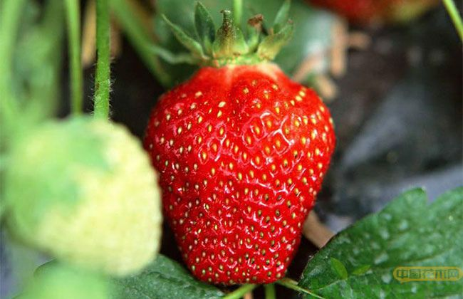 甜查理草莓