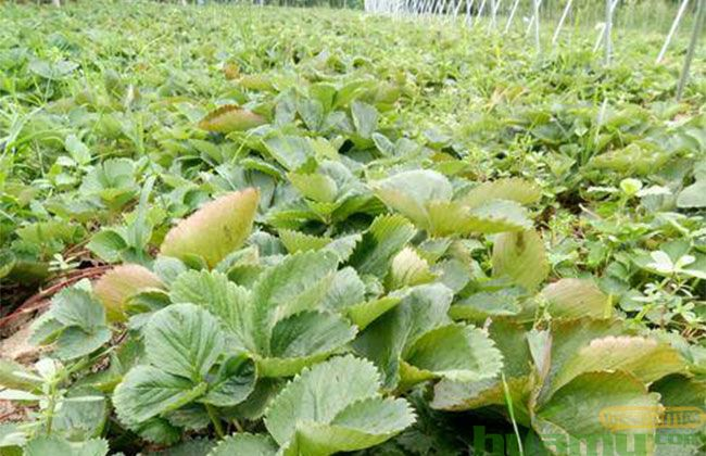 山东甜查理草莓苗价格