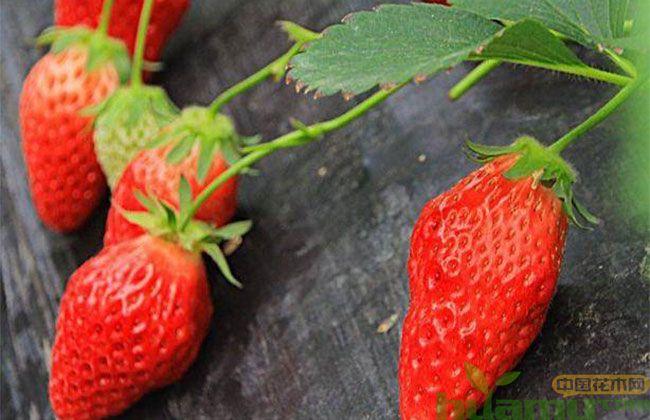 四川甜查理草莓苗价格