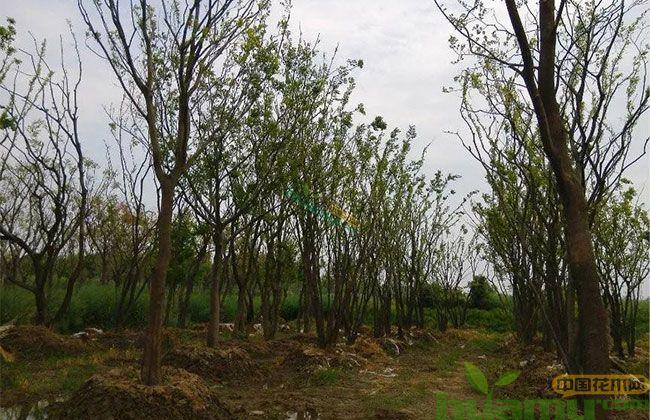 丛生苗火爆,哪些苗木可以培育丛生苗?