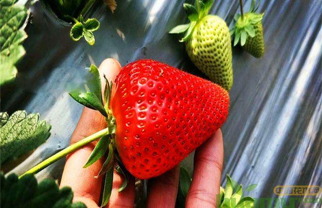 优质甜查理草莓苗供应基地 哪里草莓苗比较好?