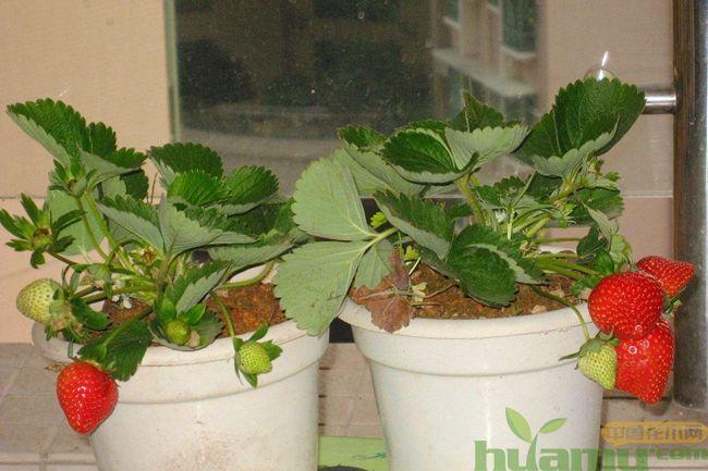 盆栽草莓苗种植方法图示.jpg