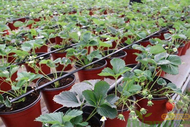 草莓苗的种植方法,学完再也不用花钱买草莓了