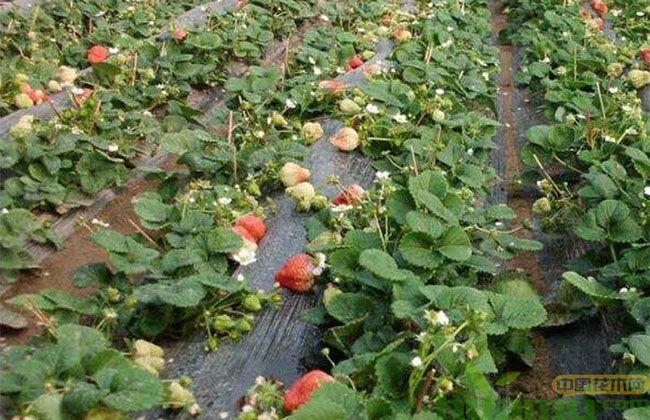红颜草莓什么时候种比较好?