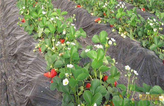 红颜草莓多少钱一斤?什么时间采摘?