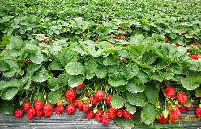 红颜草莓有什么优缺点?