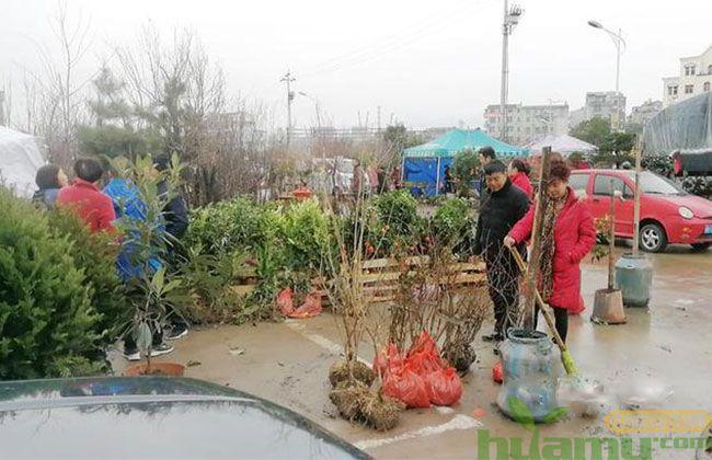 春节过后义乌苗木市场开市交易红火