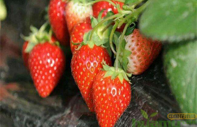 哪里的红颜草莓苗便宜?