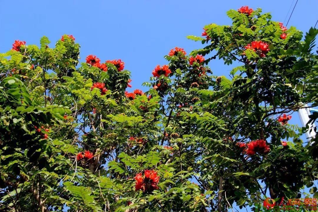 澳洲火焰木,价格和前景如它的花一样,超燃!