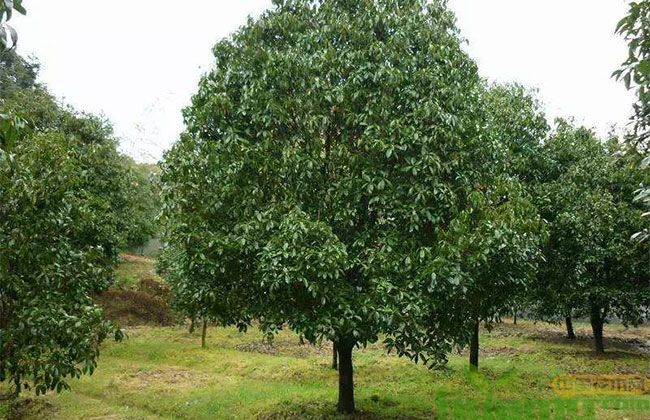 北方地区,这些苗木一树难求!