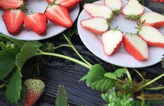 小白草莓苗