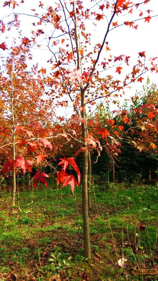 红枫树价格多少钱一棵?
