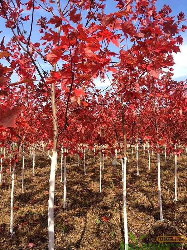 15公分红枫树.jpg