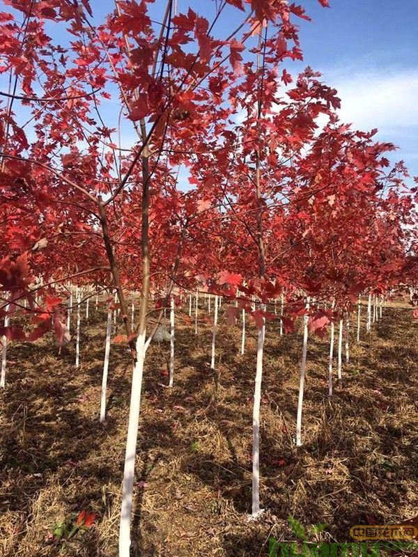 红枫树基地实拍.jpg