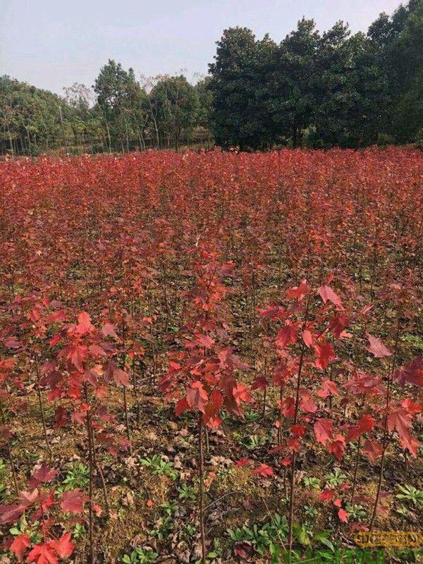 红枫树苗价格多少钱?
