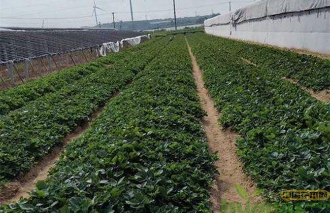 奶油草莓苗
