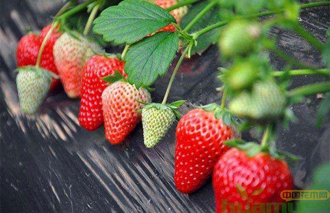 奶油草莓苗市场行情 奶油草莓苗2019春季价格