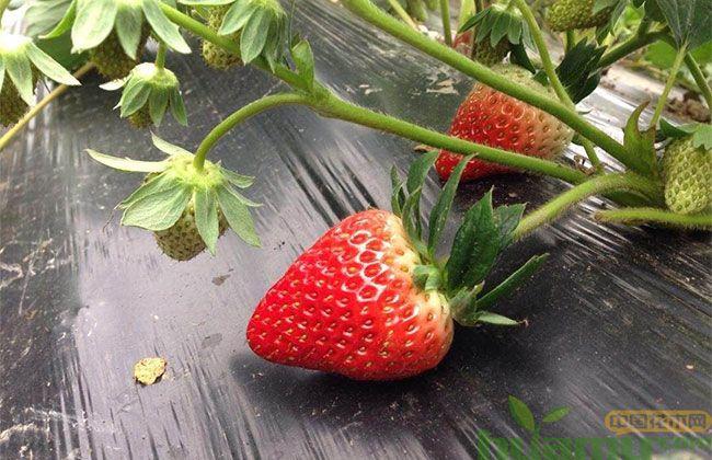 奶油草莓市场行情