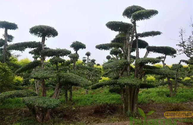 这些景观树可瞬间提高绿化档次,而且价格居高不下!
