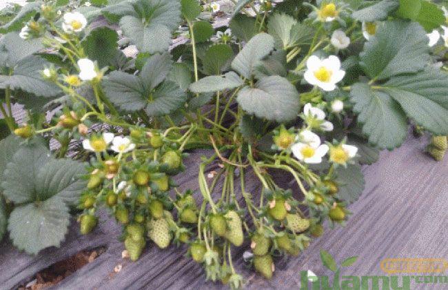 青岛甜宝草莓苗批发价格