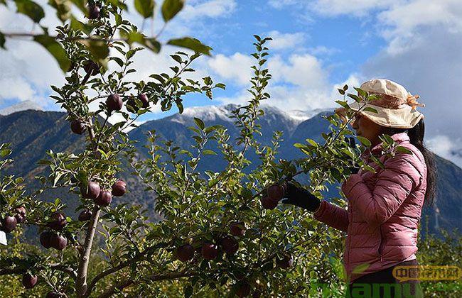 黑钻苹果一亩地产多少斤?黑钻苹果苗种植经济效益如何?