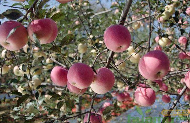 矮化冰糖心苹果苗批发价格 矮化苹果苗栽培养护技术