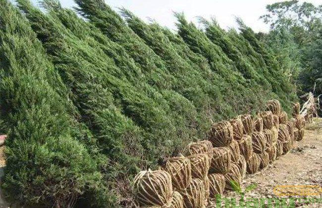 树木施肥不壮?多半是施肥方法有误!
