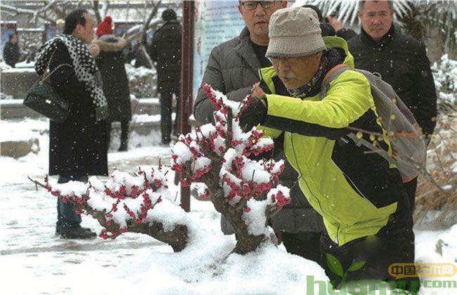 郑州新春蜡梅梅花展开幕
