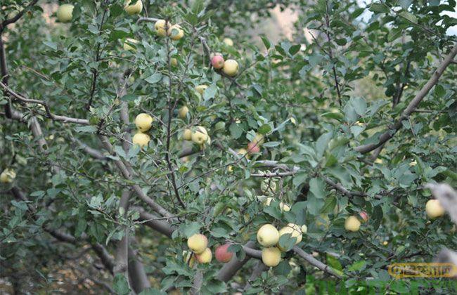 美八苹果树苗市场行情分析 美八苹果苗最新报价