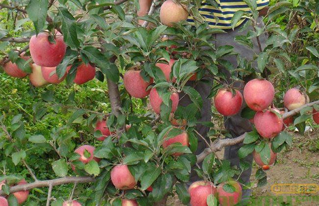 1米高美八苹果苗多少钱一棵?最新美八苹果苗价格表