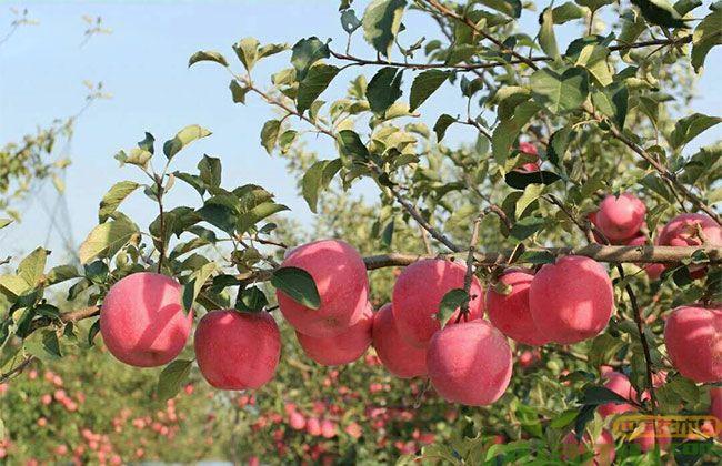 烟富10苹果苗