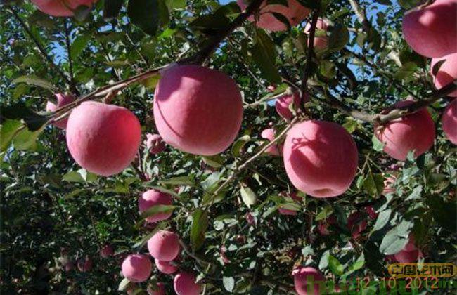 烟富10苹果苗15.jpg
