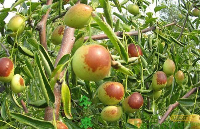 冬枣树苗批发报价表 10公分冬枣树苗价格多少钱一棵?