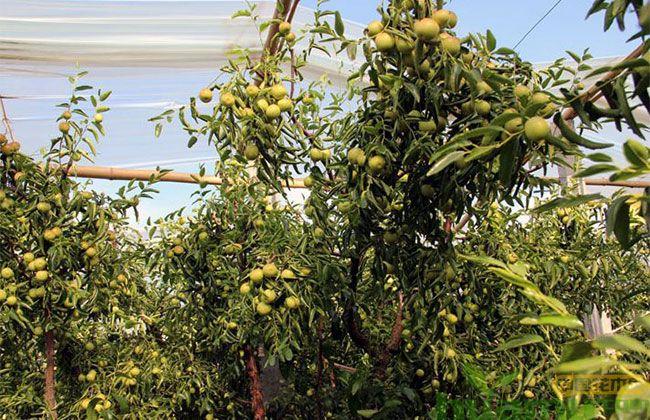 山东沾化冬枣树苗价格 山东冬枣树苗市场如何?