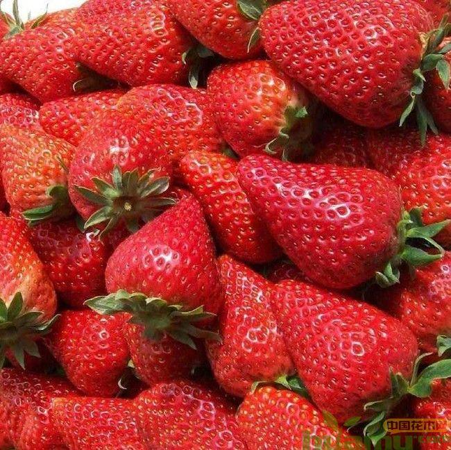 甜查理草莓有哪些优点?