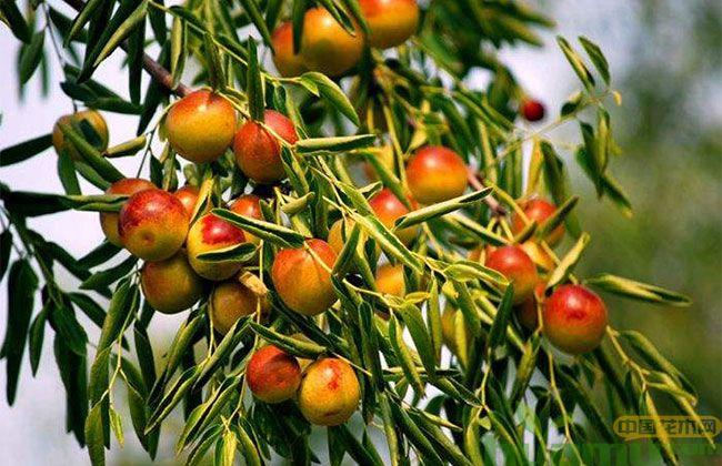 冬枣几年挂果?种植冬枣一亩地产多少斤枣?