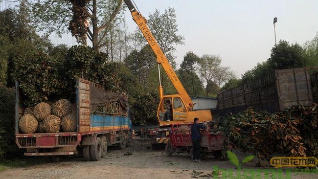移栽苗木长途装车运输,做好这几个措施有大大提高移栽苗的成活率