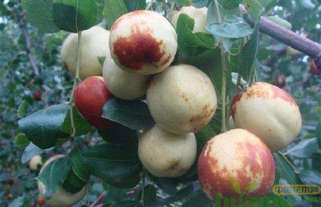 枣树什么时间移栽最好
