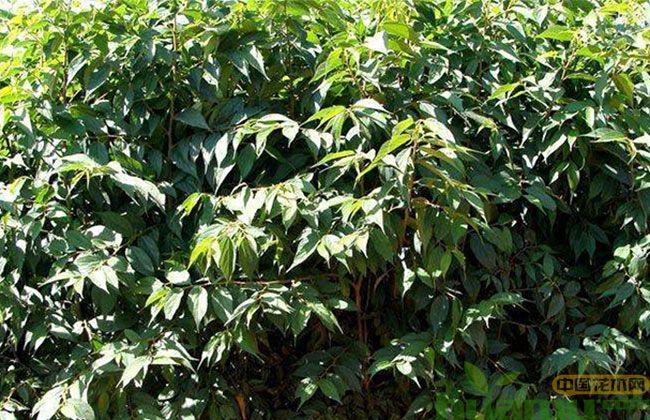 今春育林,安徽优先用乡土树种