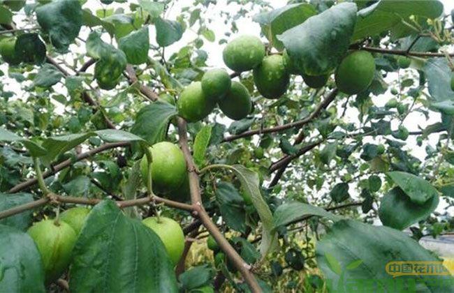 软枣树苗种植前景分析