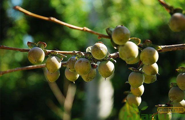 哪里能买到软枣树苗?