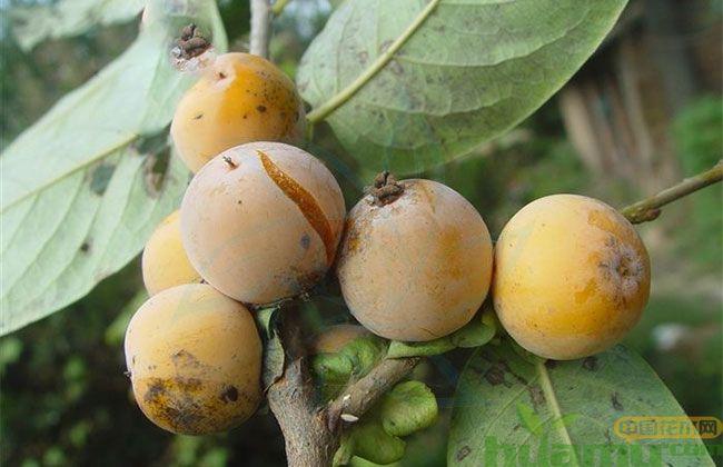 无籽软枣树苗批发价格